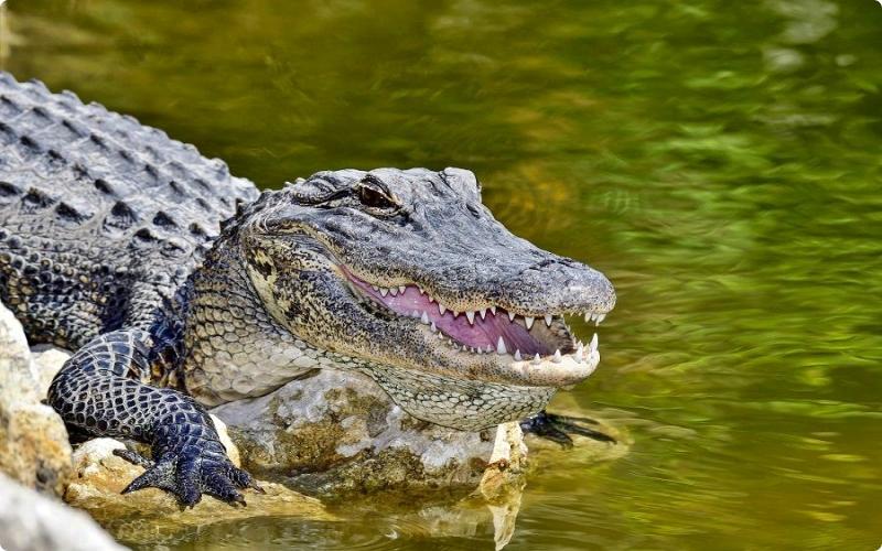 Aligator hewan yang hidup di air