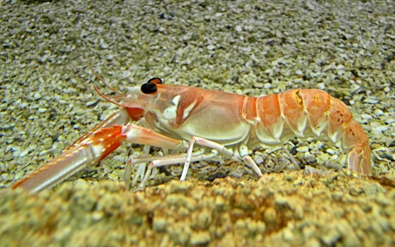 krustasea Crustacea