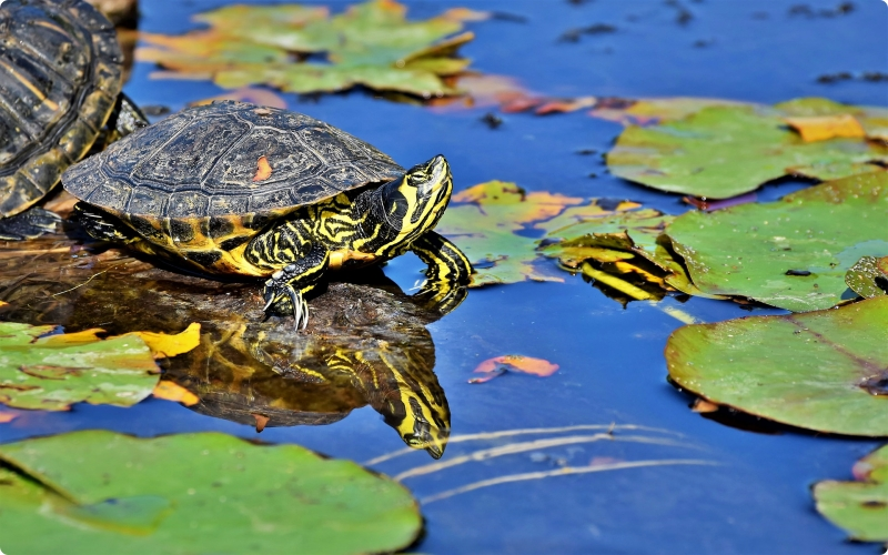 Kura-kura hewan yang hidup di air