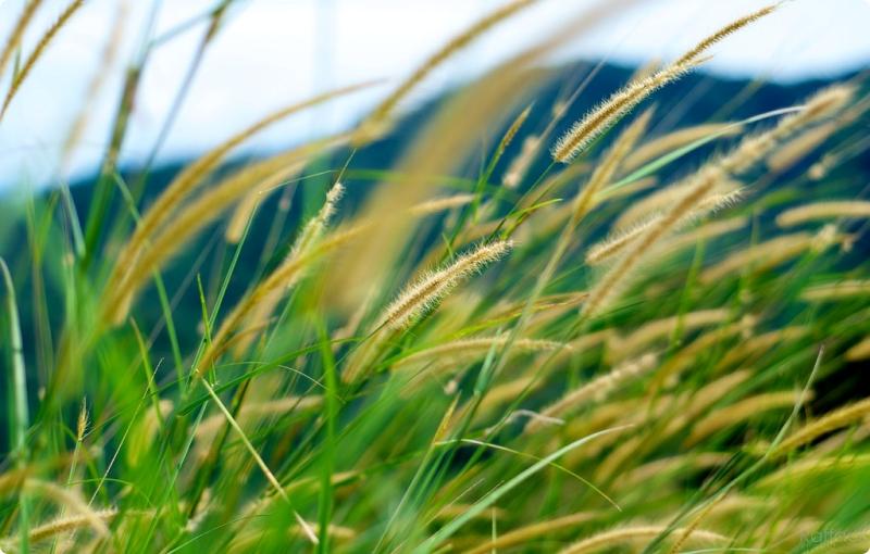 macam-macam-rumput alang-alang-ilalang