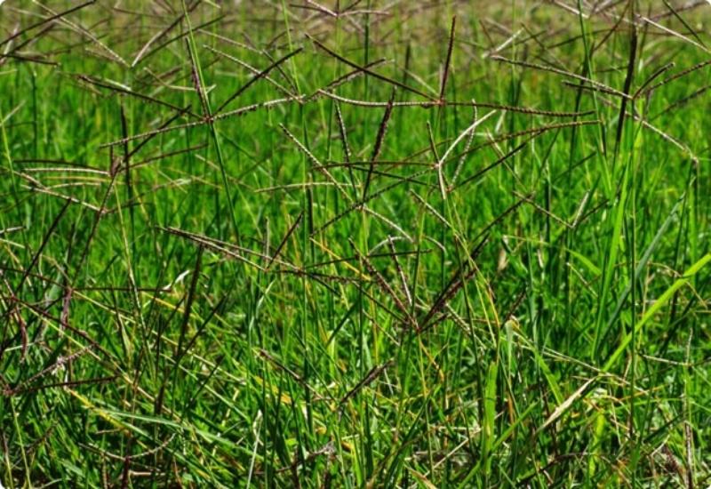 macam-macam rumput grinting