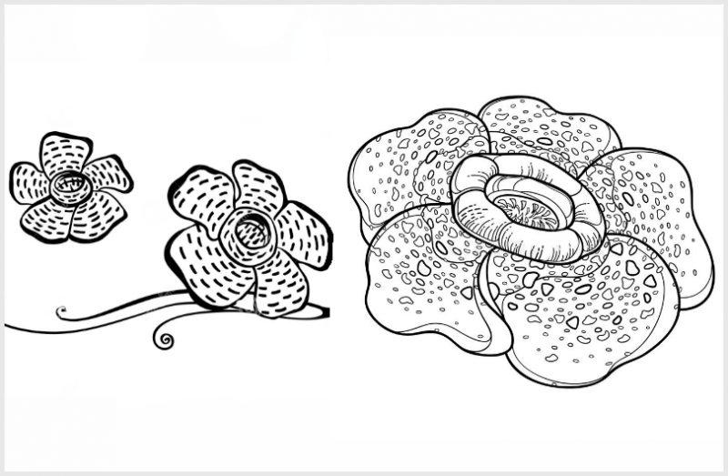 Sketsa Gambar Bunga Raflesia