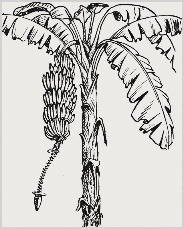 Sketsa Gambar Daun Pisang dan Pohonnya