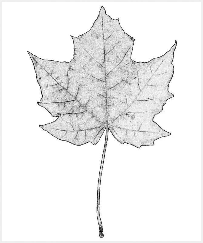 Sketsa Maple Tanpa Warna
