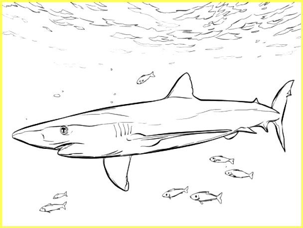 gambar sketsa ikan hiu