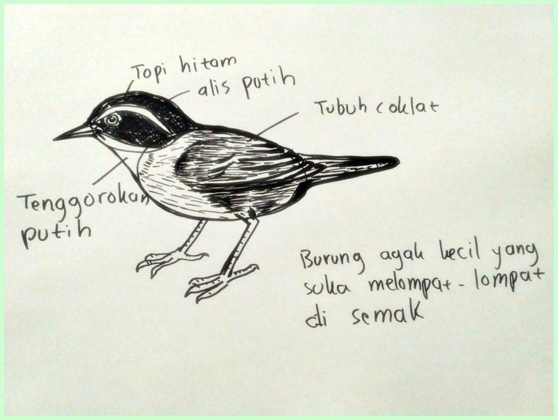 macam macam sketsa gambar burung3