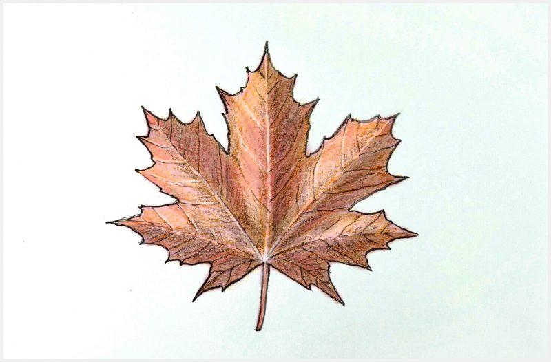 sketsa daun maple2