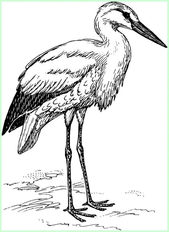 sketsa gambar burung bangau