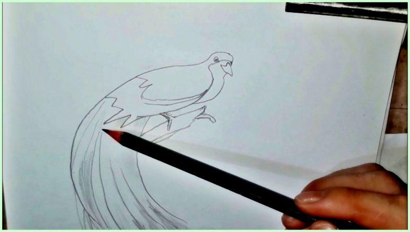 sketsa gambar burung cendrawasih