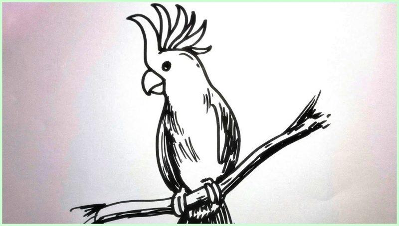 sketsa gambar burung kakak tua2