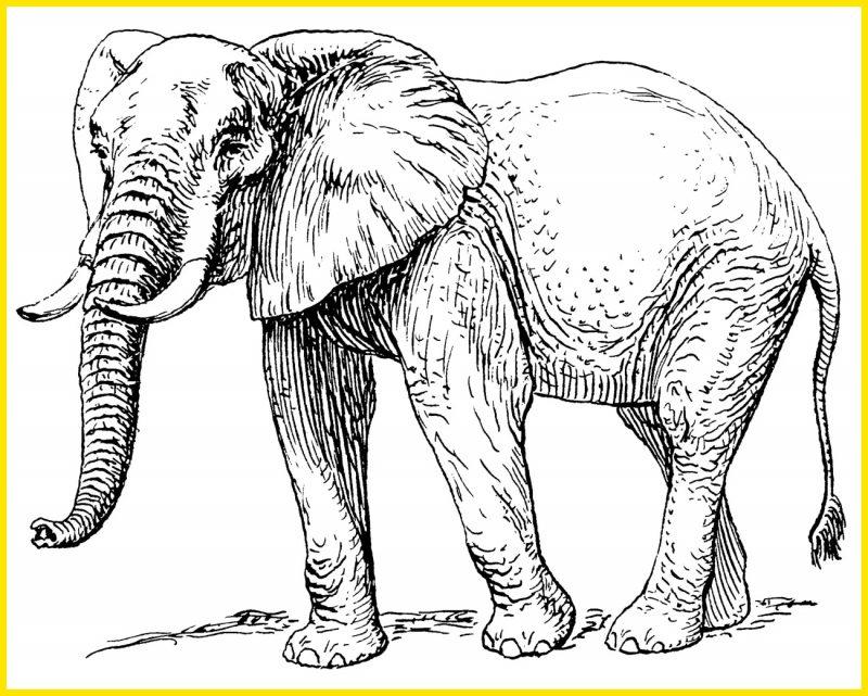 Sketsa Gambar Gajah Afrika