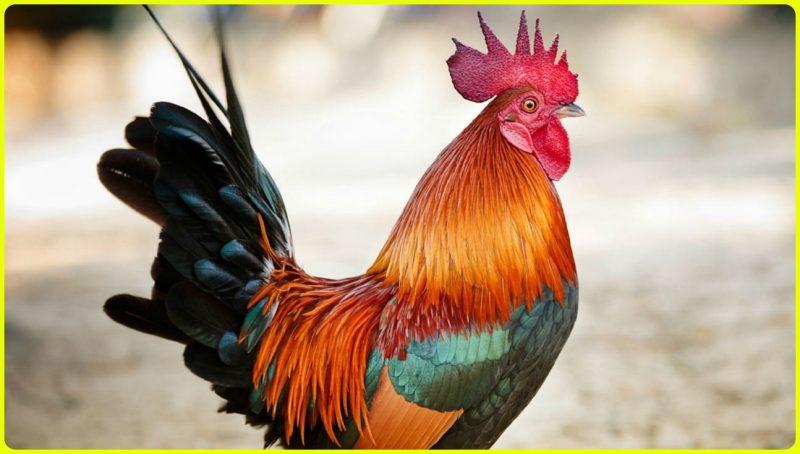 gambar ayam jago gagah