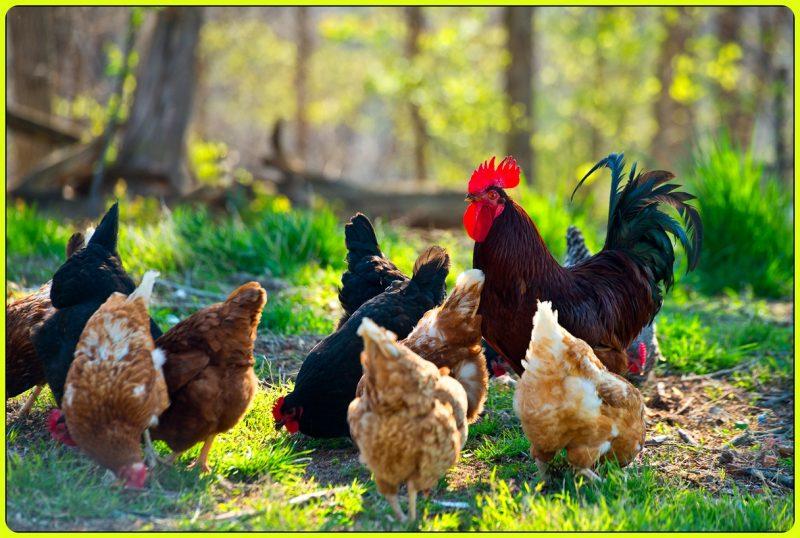 gambar ayam kate jantan dan betina