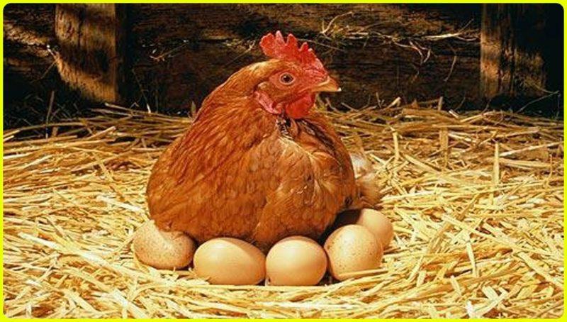 gambar ayam petelur