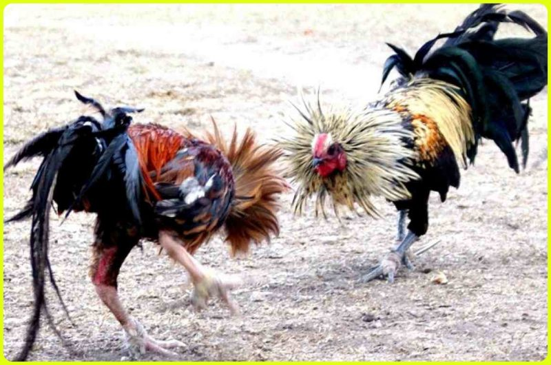 gambar ayam tarung