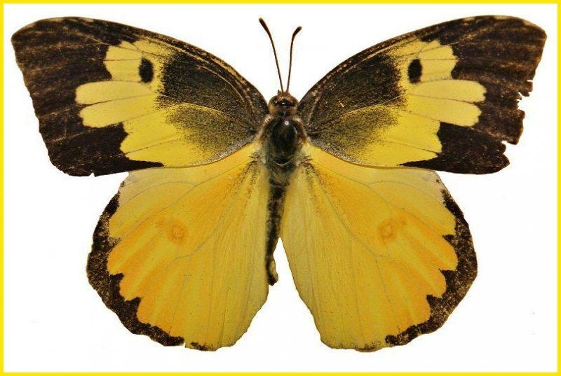 gambar kupu kupu Southern Dogface