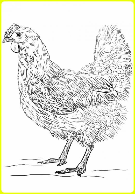 gambar sketsa ayam betina artistik