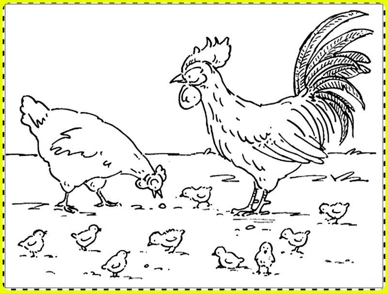 gambar sketsa ayam betina dan jantan