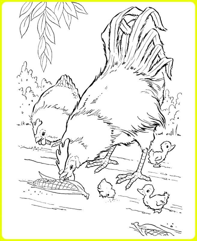 gambar sketsa ayam jantan dan betina makan jagung