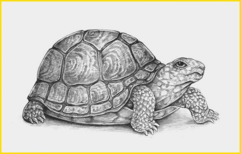 gambar sketsa kura kura