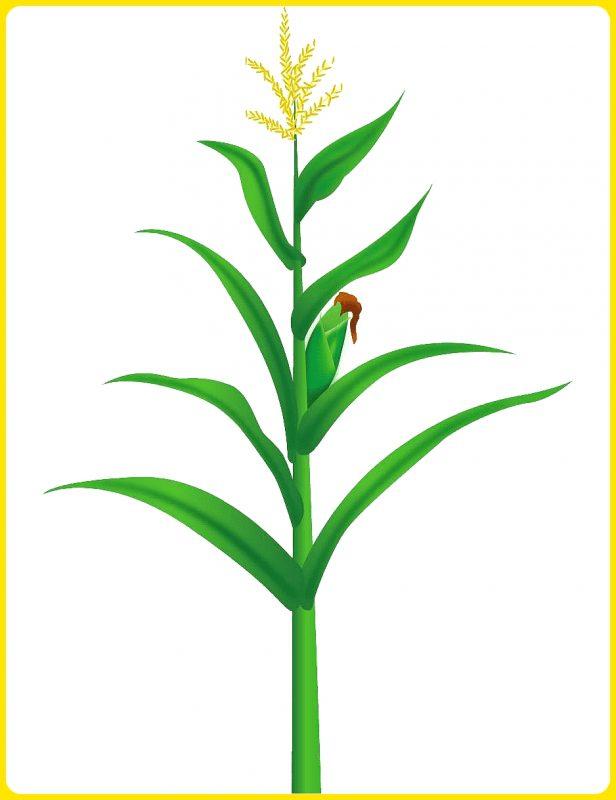 gambar sketsa pohon jagung