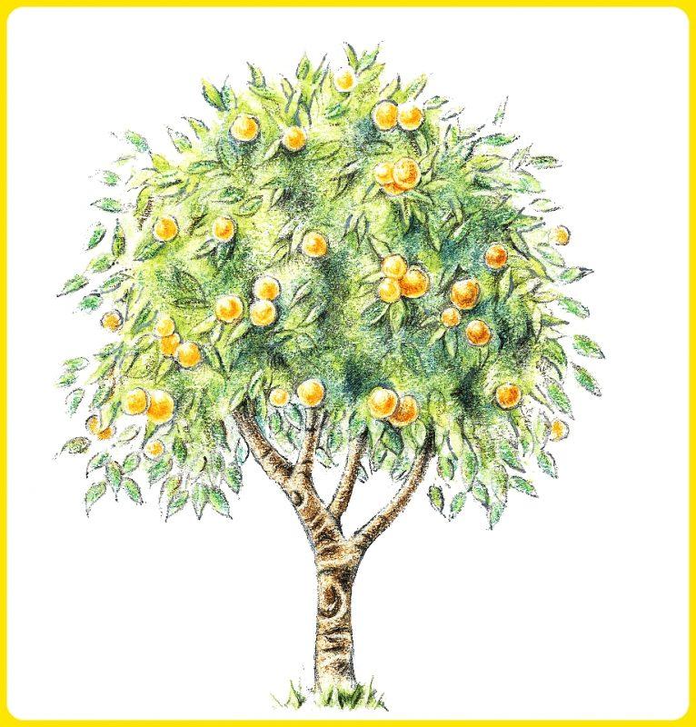 gambar sketsa pohon jeruk