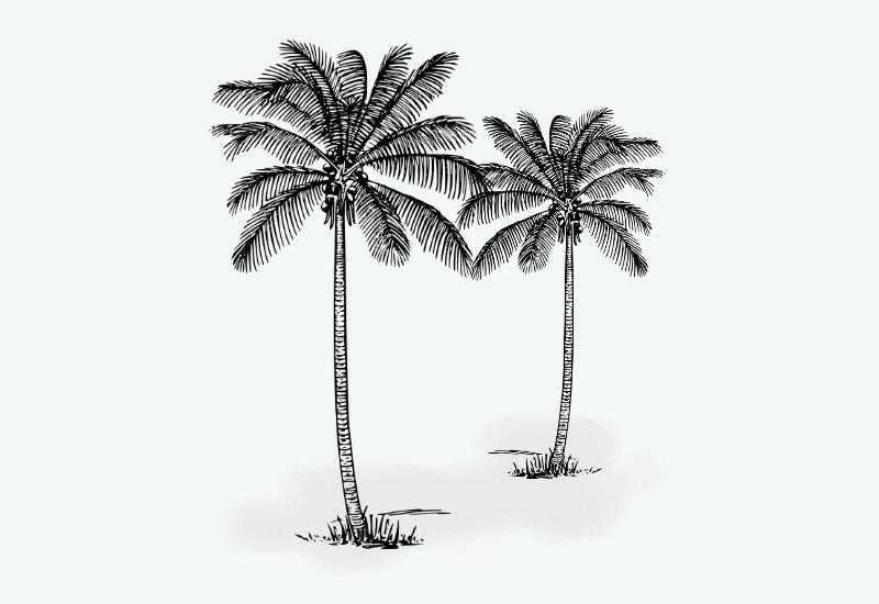 gambar sketsa pohon kelapa