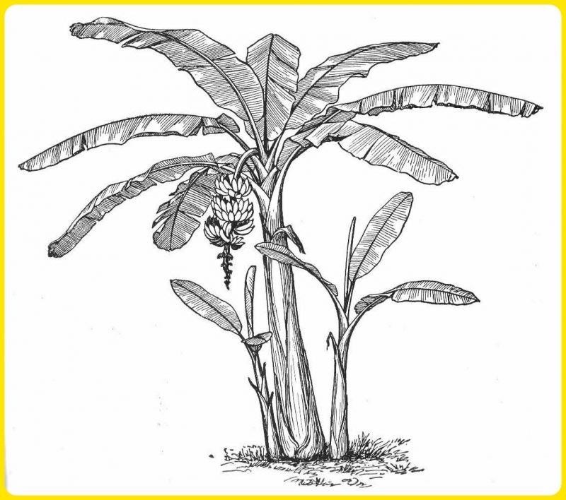 gambar sketsa pohon pisang dan tunas kecilnya