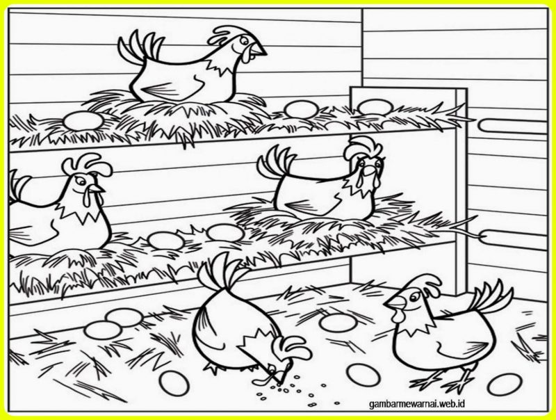 sketsa ayam bertelur
