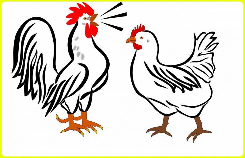 sketsa ayam betina dan jantan ada yang berkokok
