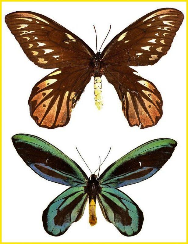 sketsa gambar kupu kupu Queen Alexandra Birdwing Butterfly