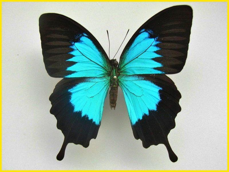 sketsa gambar kupu kupu Ulysses Butterfly
