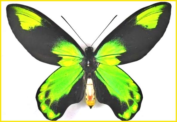 sketsa kupu kupu berwarna green and blue mountain swallowtail