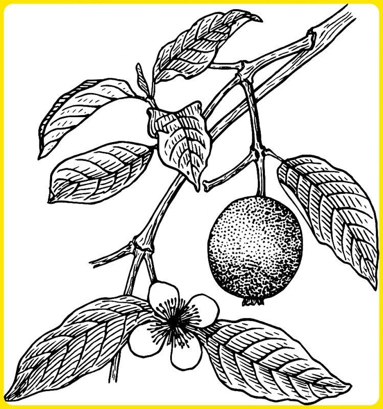 sketsa pohon jambu