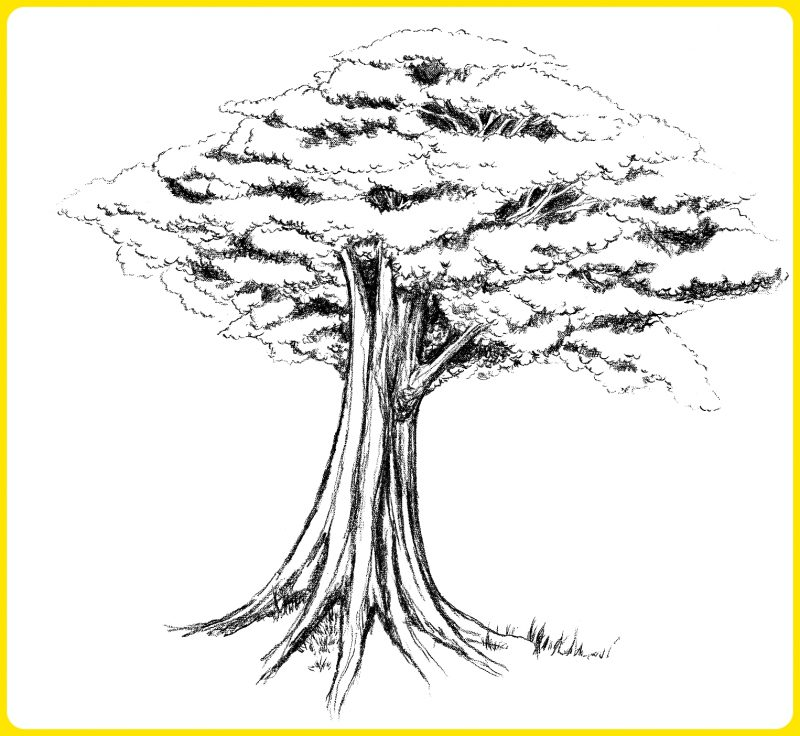 sketsa pohon jati