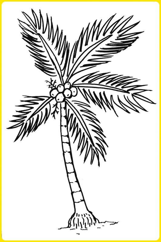 sketsa pohon kelapa berbuah