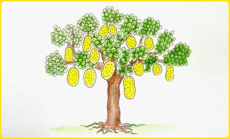 sketsa pohon nangka