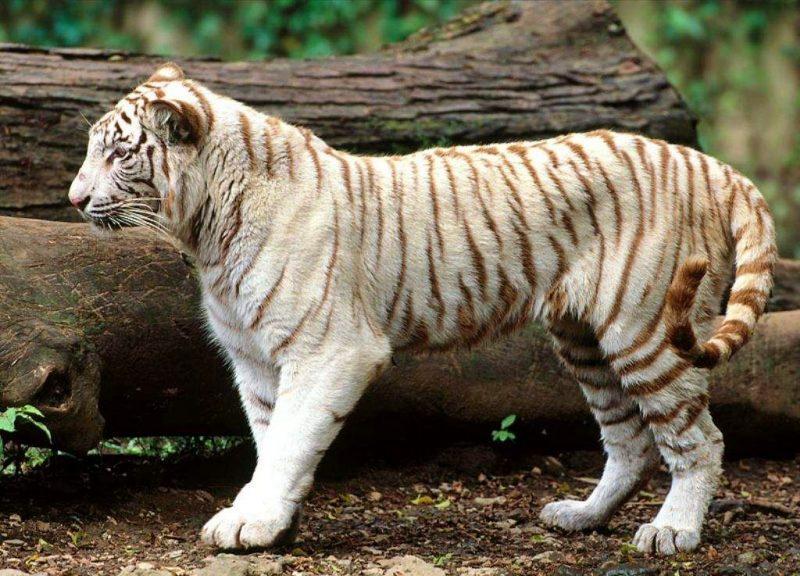 gambar harimau jawa albino