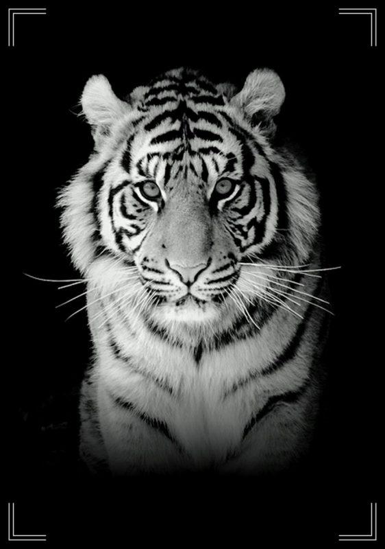 gambar harimau keren