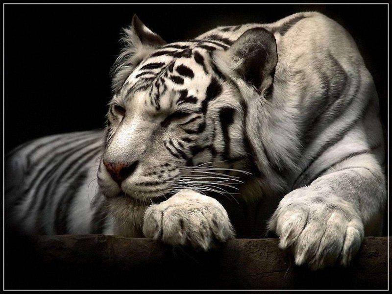 gambar harimau putih tiduran