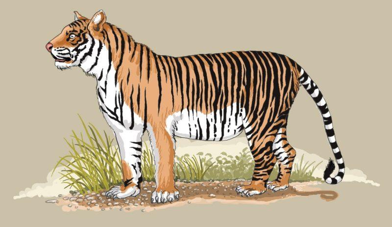 illustrasi harimau jawa