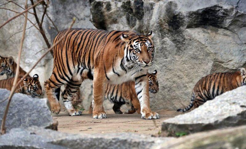 kawanan harimau sumatera