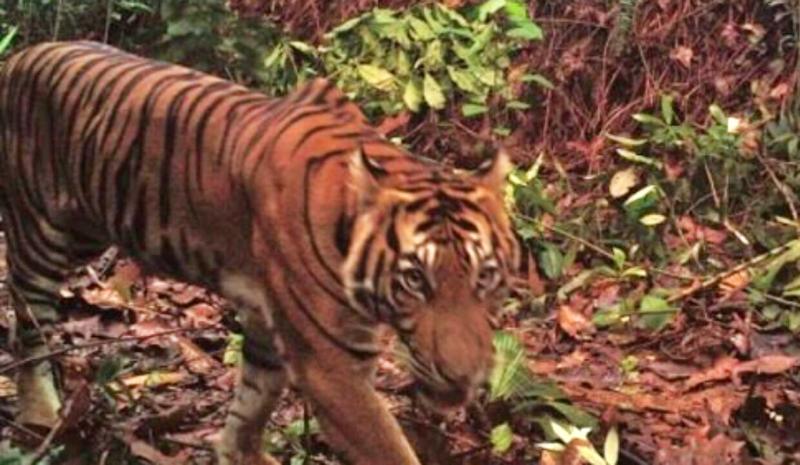 penampakan harimau di alam liar