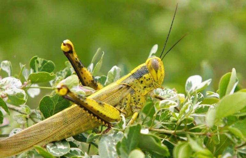 belalang italia