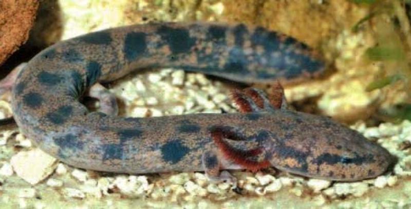contoh hewan amfibi Neuse River Waterdog (Necturuslevis)