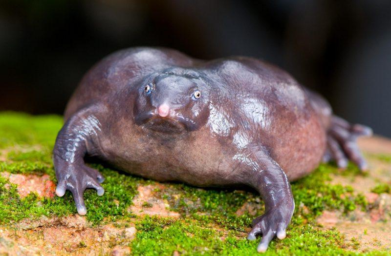 contoh hewan amfibi Purple Frog (Nasikabatrachus sahyadrebsis)