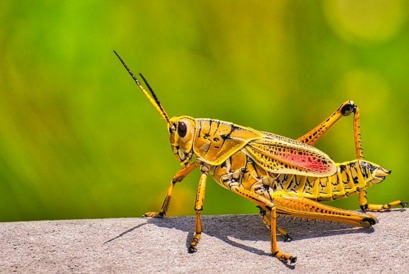 daur hisup belalang