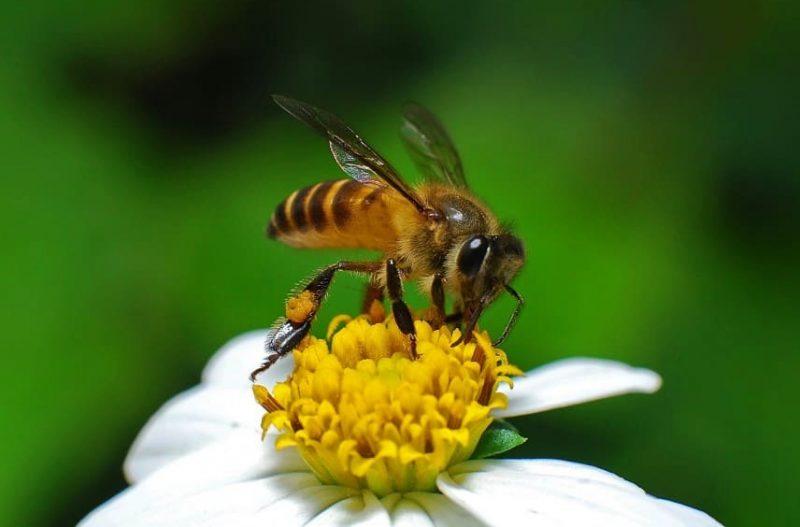 definisi lebah
