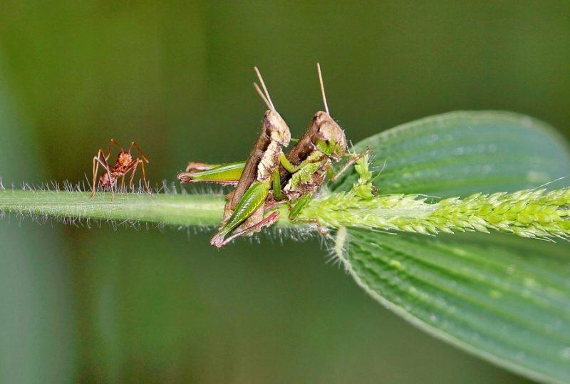 reproduksi belalang